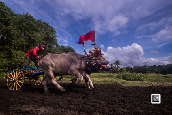 Indonesia-Bali-Makepung_Jembrana_Cup-Tuwed_Village_Circuit-123