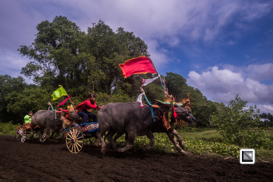Indonesia-Bali-Makepung_Jembrana_Cup-Tuwed_Village_Circuit-128