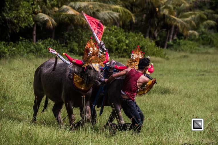 Indonesia-Bali-Makepung_Jembrana_Cup-Tuwed_Village_Circuit-135