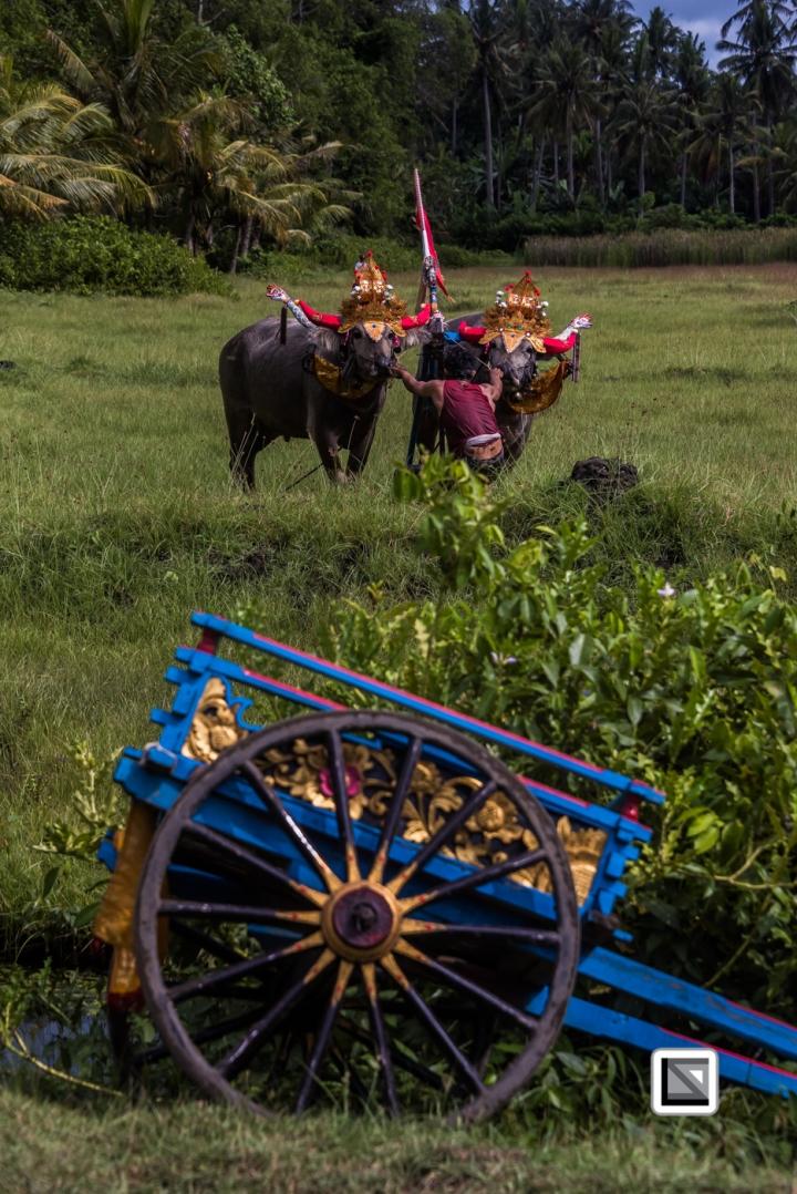 Indonesia-Bali-Makepung_Jembrana_Cup-Tuwed_Village_Circuit-136