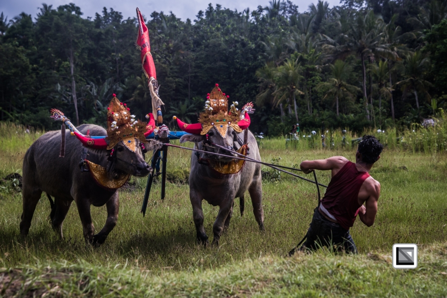 Indonesia-Bali-Makepung_Jembrana_Cup-Tuwed_Village_Circuit-139