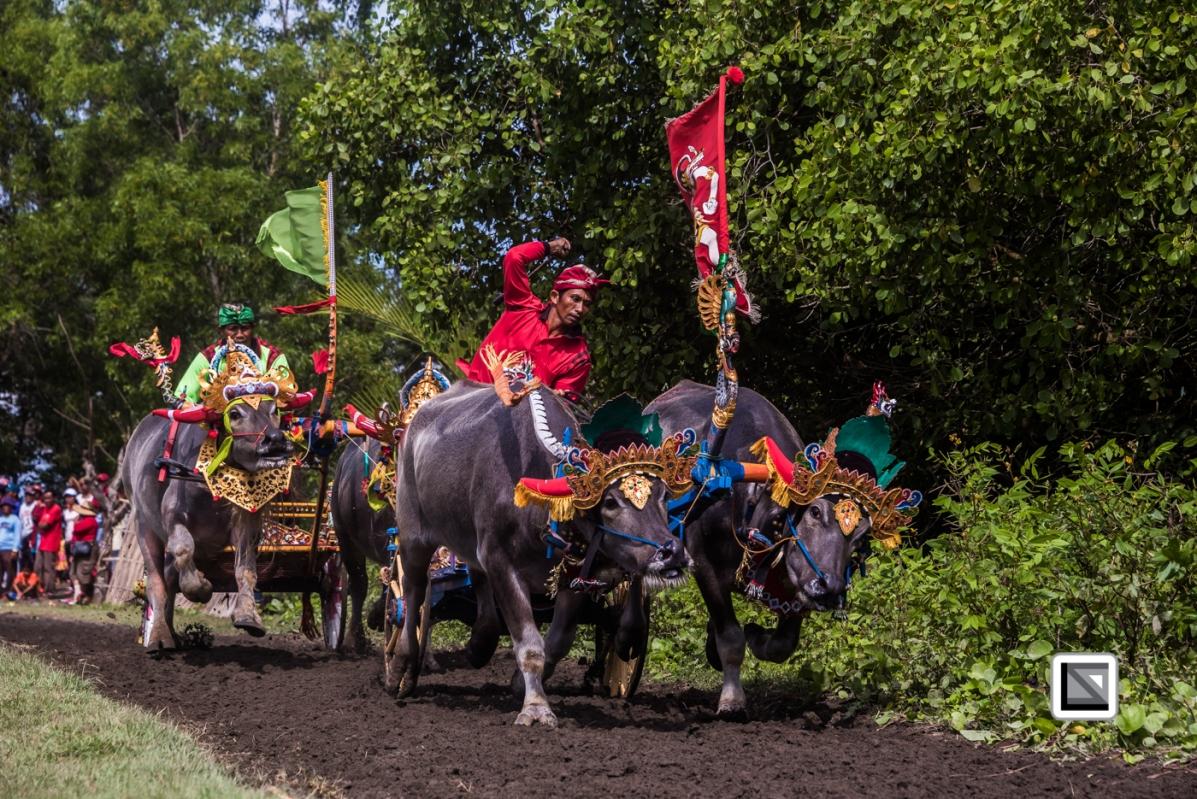 Indonesia-Bali-Makepung_Jembrana_Cup-Tuwed_Village_Circuit-141