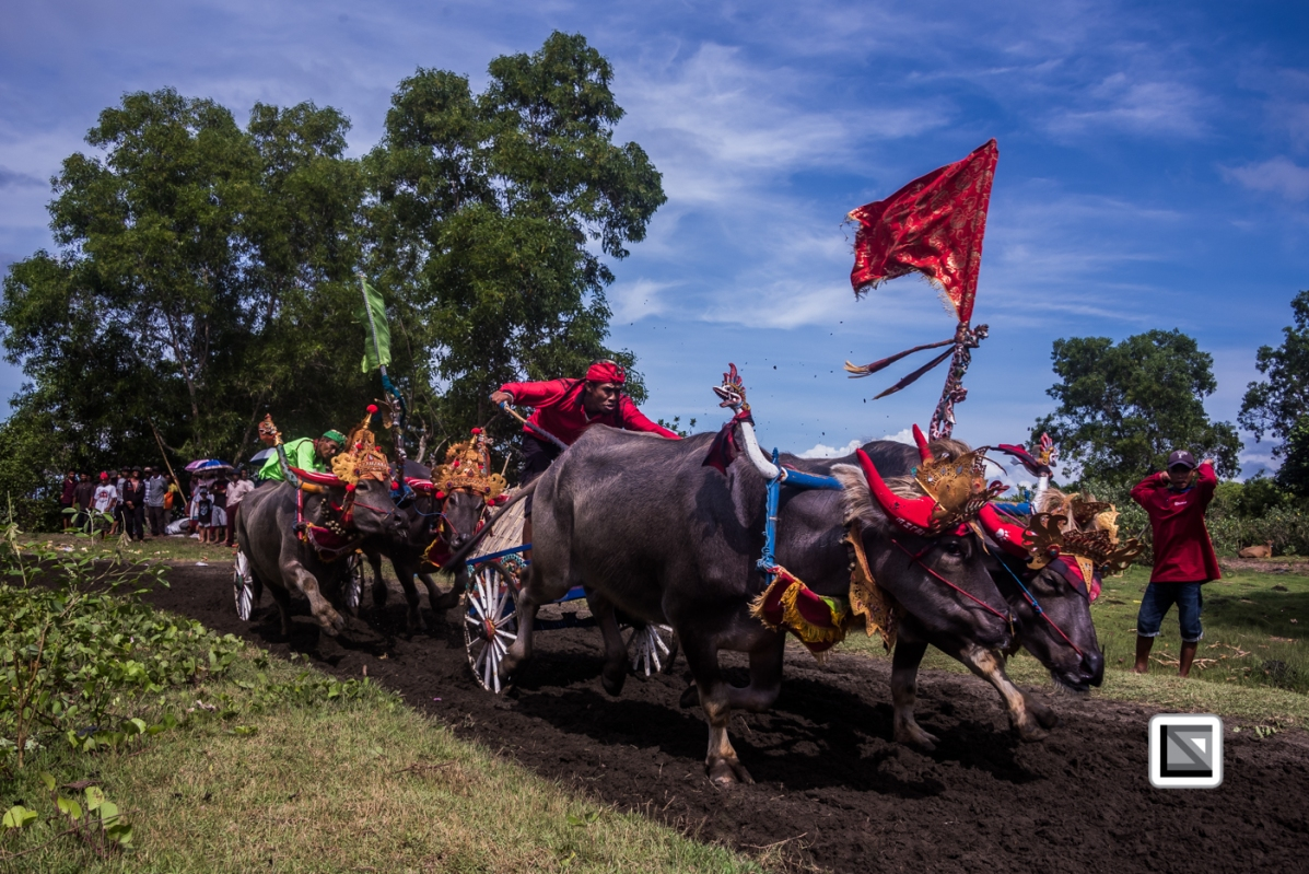 Indonesia-Bali-Makepung_Jembrana_Cup-Tuwed_Village_Circuit-144