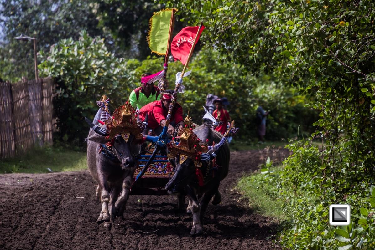Indonesia-Bali-Makepung_Jembrana_Cup-Tuwed_Village_Circuit-146