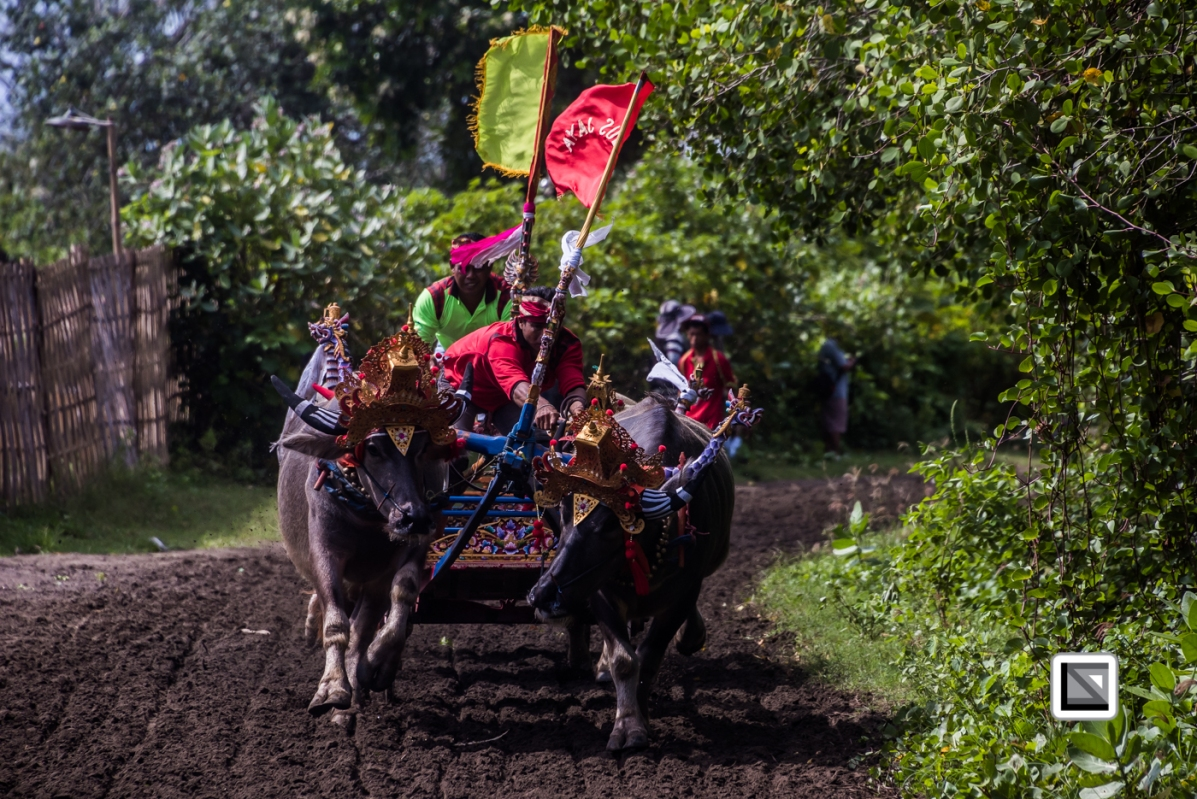 Indonesia-Bali-Makepung_Jembrana_Cup-Tuwed_Village_Circuit-146