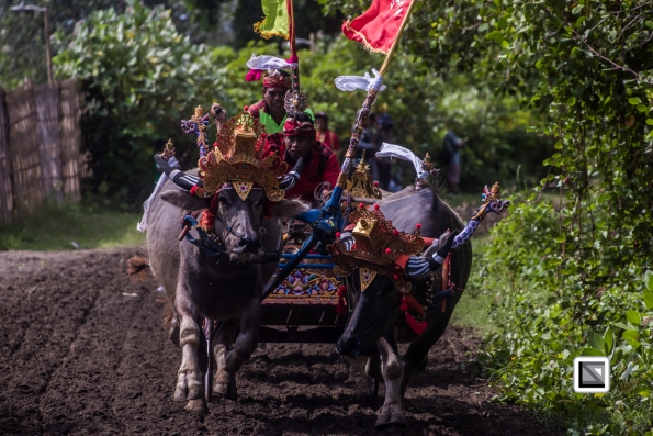 Indonesia-Bali-Makepung_Jembrana_Cup-Tuwed_Village_Circuit-148