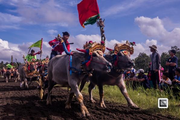 Indonesia-Bali-Makepung_Jembrana_Cup-Tuwed_Village_Circuit-15