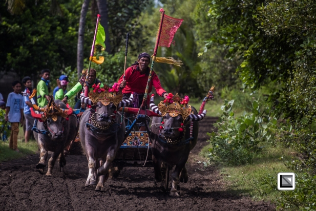 Indonesia-Bali-Makepung_Jembrana_Cup-Tuwed_Village_Circuit-152