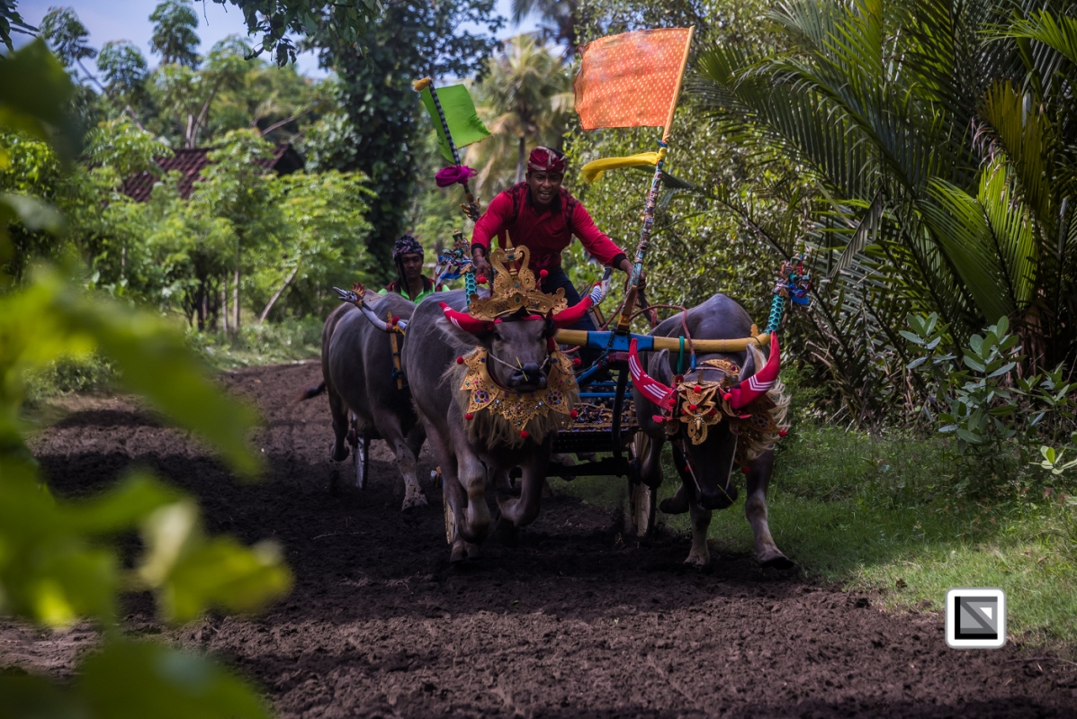 Indonesia-Bali-Makepung_Jembrana_Cup-Tuwed_Village_Circuit-161