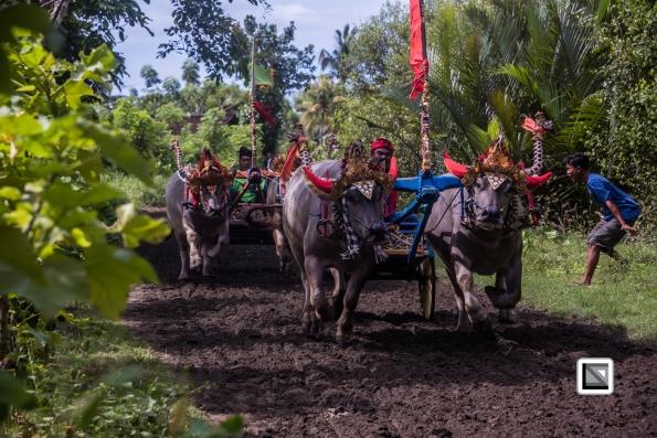 Indonesia-Bali-Makepung_Jembrana_Cup-Tuwed_Village_Circuit-165