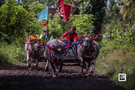Indonesia-Bali-Makepung_Jembrana_Cup-Tuwed_Village_Circuit-168
