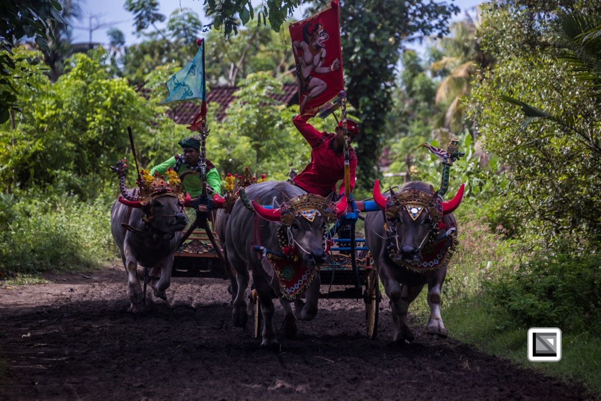 Indonesia-Bali-Makepung_Jembrana_Cup-Tuwed_Village_Circuit-169