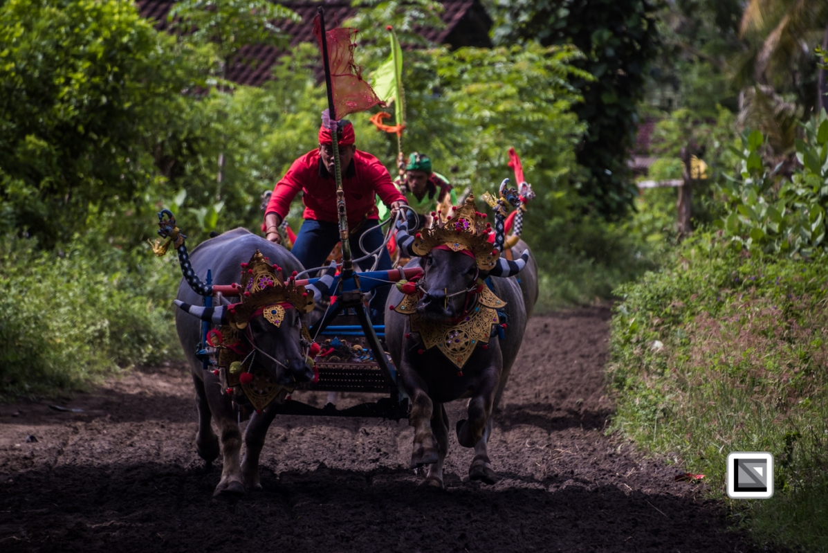 Indonesia-Bali-Makepung_Jembrana_Cup-Tuwed_Village_Circuit-172
