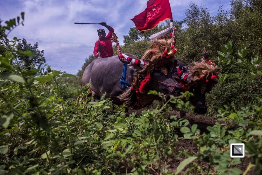 Indonesia-Bali-Makepung_Jembrana_Cup-Tuwed_Village_Circuit-180