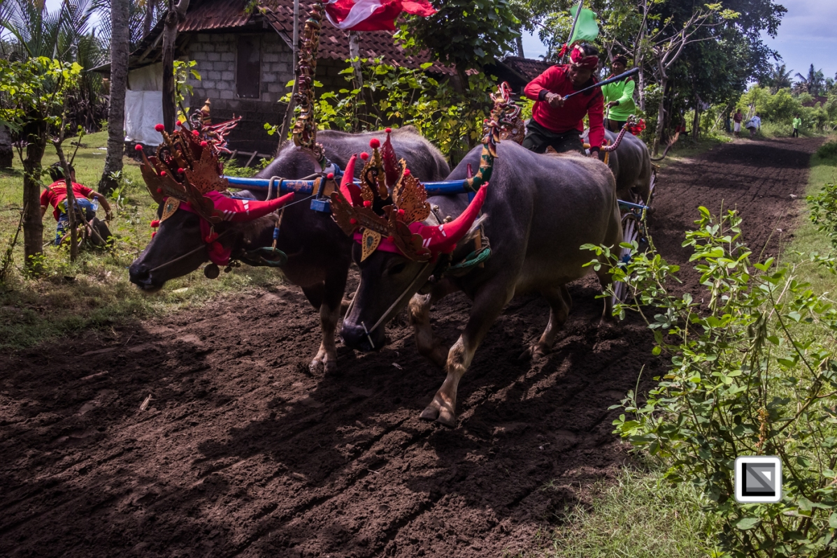 Indonesia-Bali-Makepung_Jembrana_Cup-Tuwed_Village_Circuit-186