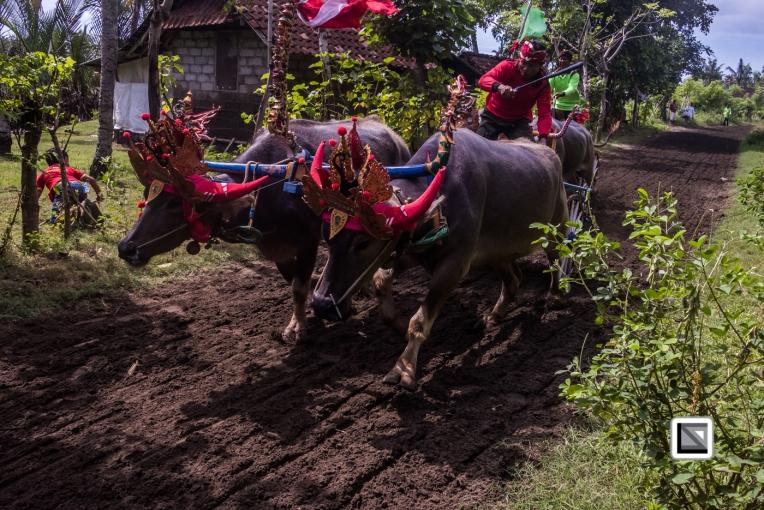 Indonesia-Bali-Makepung_Jembrana_Cup-Tuwed_Village_Circuit-186