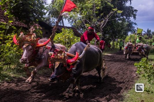 Indonesia-Bali-Makepung_Jembrana_Cup-Tuwed_Village_Circuit-187