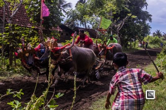 Indonesia-Bali-Makepung_Jembrana_Cup-Tuwed_Village_Circuit-188