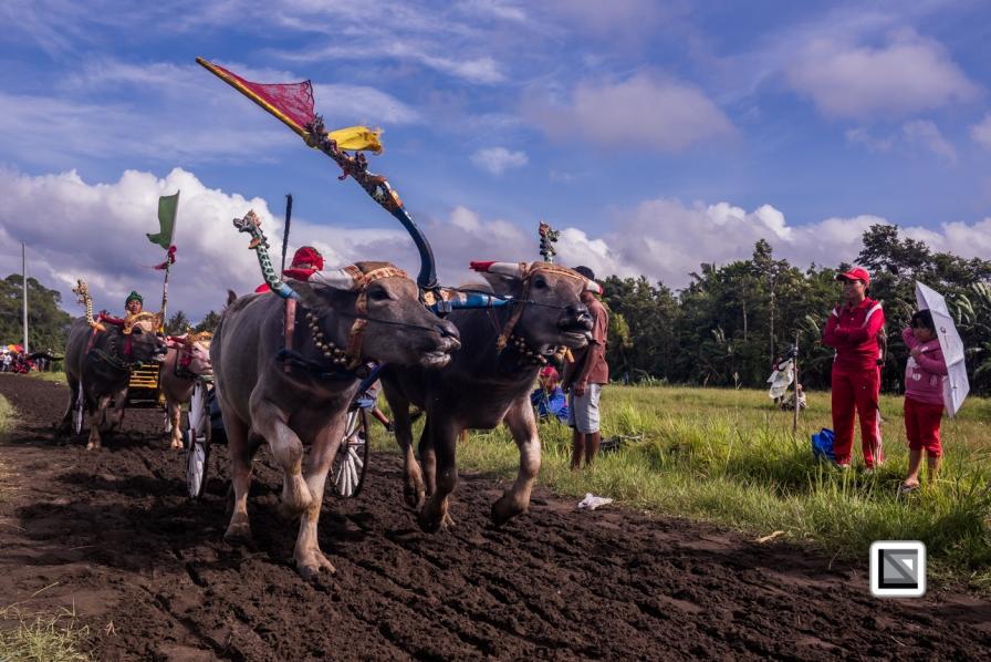 Indonesia-Bali-Makepung_Jembrana_Cup-Tuwed_Village_Circuit-22