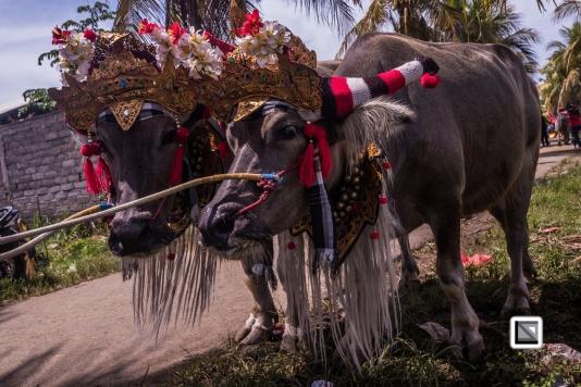Indonesia-Bali-Makepung_Jembrana_Cup-Tuwed_Village_Circuit-221