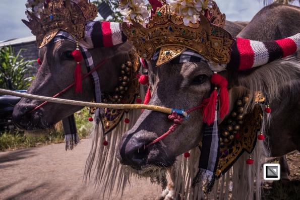 Indonesia-Bali-Makepung_Jembrana_Cup-Tuwed_Village_Circuit-222
