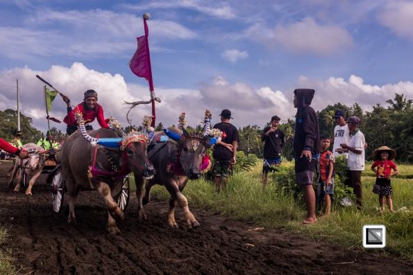 Indonesia-Bali-Makepung_Jembrana_Cup-Tuwed_Village_Circuit-25