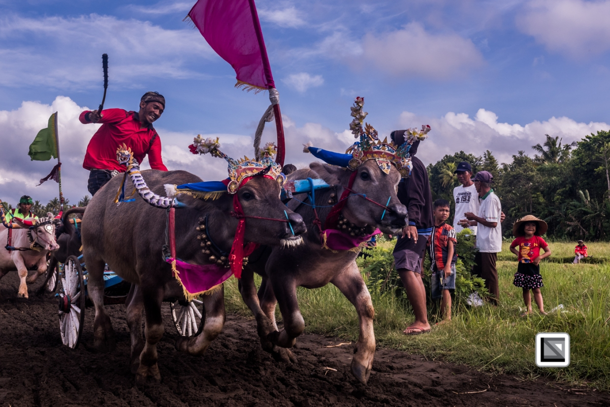 Indonesia-Bali-Makepung_Jembrana_Cup-Tuwed_Village_Circuit-27
