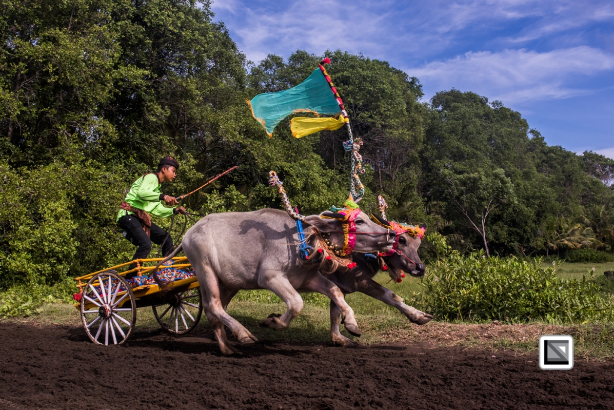 Indonesia-Bali-Makepung_Jembrana_Cup-Tuwed_Village_Circuit-30