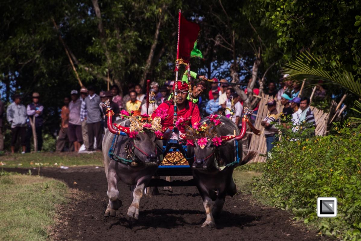 Indonesia-Bali-Makepung_Jembrana_Cup-Tuwed_Village_Circuit-35