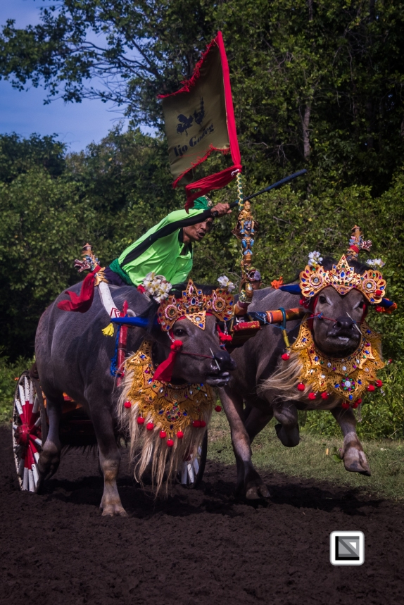 Indonesia-Bali-Makepung_Jembrana_Cup-Tuwed_Village_Circuit-49-2