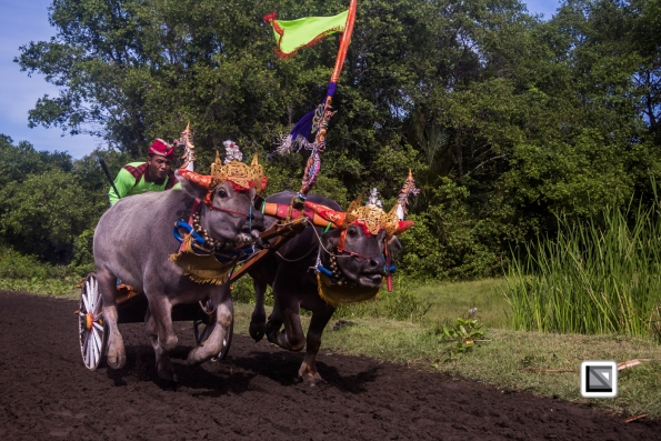 Indonesia-Bali-Makepung_Jembrana_Cup-Tuwed_Village_Circuit-70