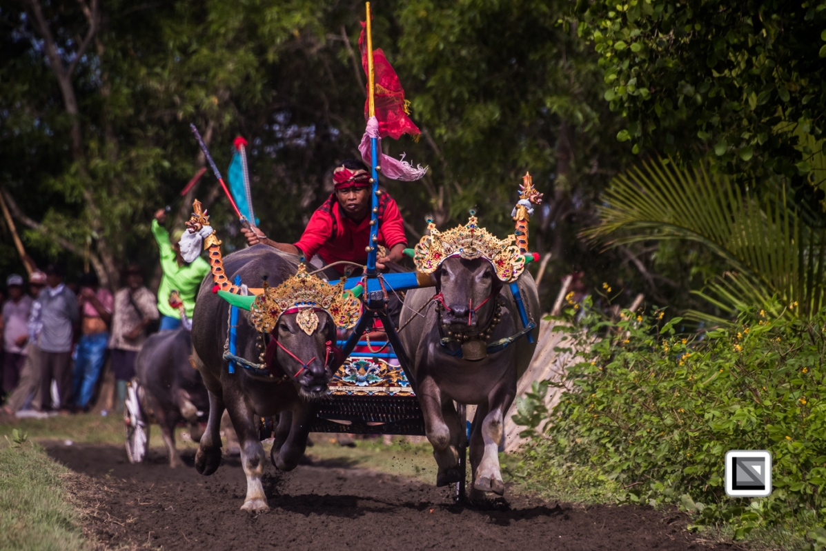 Indonesia-Bali-Makepung_Jembrana_Cup-Tuwed_Village_Circuit-73