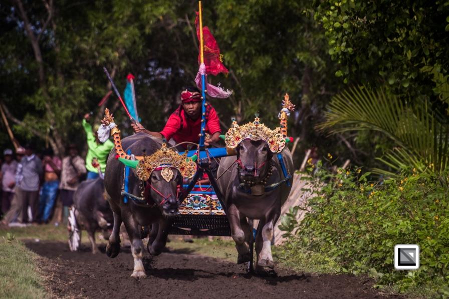 Indonesia-Bali-Makepung_Jembrana_Cup-Tuwed_Village_Circuit-73