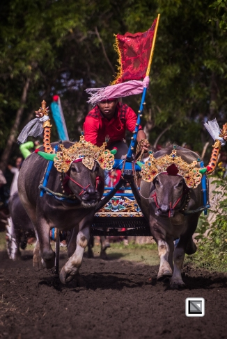 Indonesia-Bali-Makepung_Jembrana_Cup-Tuwed_Village_Circuit-74