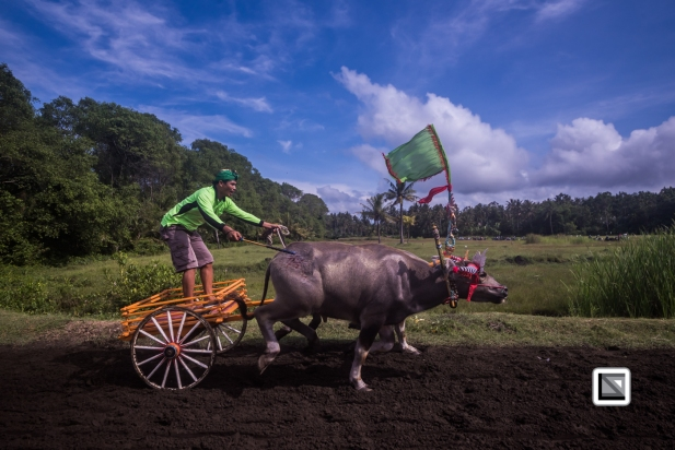 Indonesia-Bali-Makepung_Jembrana_Cup-Tuwed_Village_Circuit-79