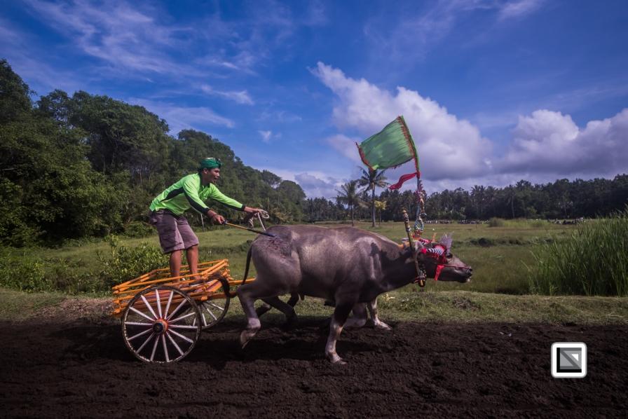 Indonesia-Bali-Makepung_Jembrana_Cup-Tuwed_Village_Circuit-79