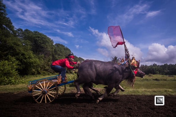 Indonesia-Bali-Makepung_Jembrana_Cup-Tuwed_Village_Circuit-81