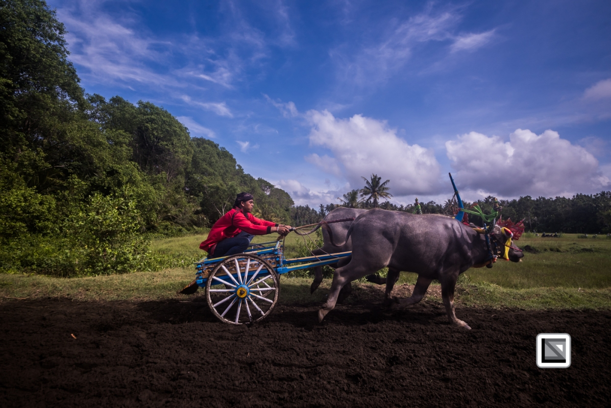 Indonesia-Bali-Makepung_Jembrana_Cup-Tuwed_Village_Circuit-89