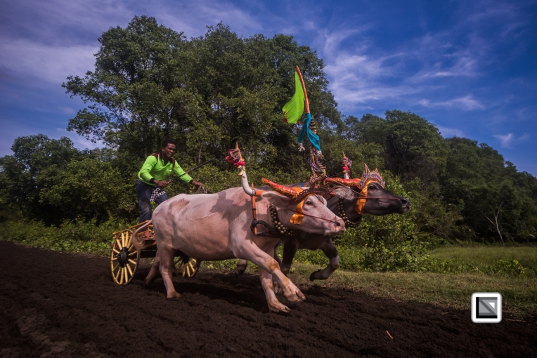 Indonesia-Bali-Makepung_Jembrana_Cup-Tuwed_Village_Circuit-94