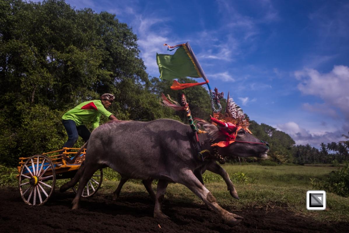 Indonesia-Bali-Makepung_Jembrana_Cup-Tuwed_Village_Circuit-96