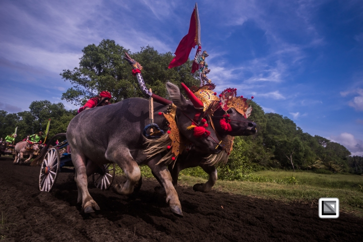 Indonesia-Bali-Makepung_Jembrana_Cup-Tuwed_Village_Circuit-98